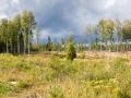 Birkenwald im Sonnenlicht
