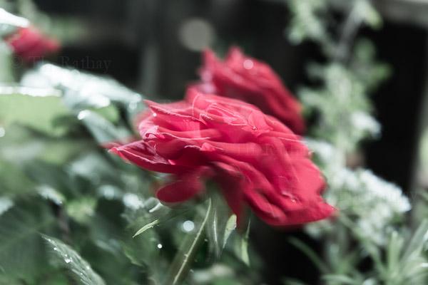 Rote Rose etwas ausgewaschen