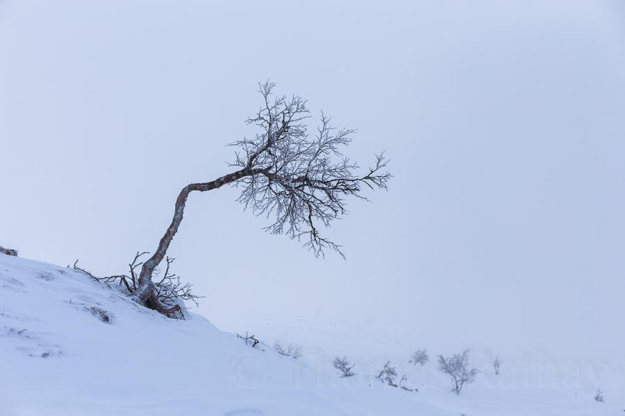 Fjällbirke im Winter