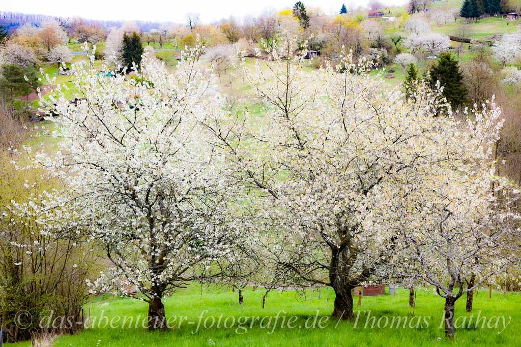 Obstbaumblüte im Remstal
