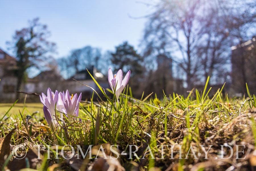 Krokus, Frühling
