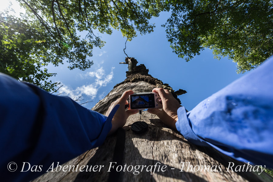Eichenwald, Riesenbaum