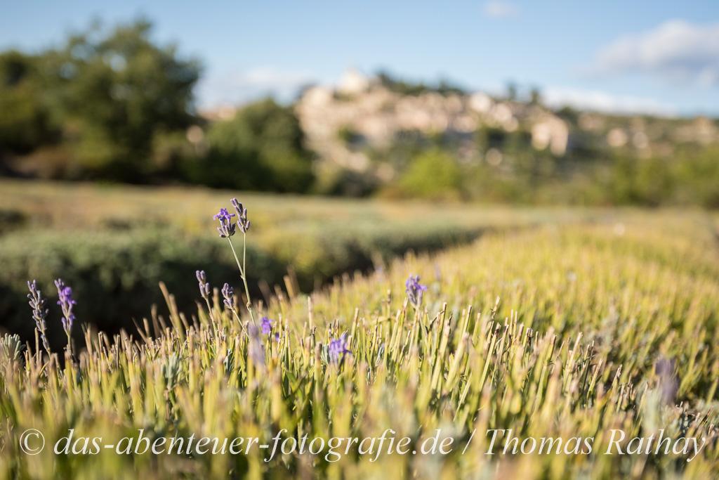 Nach der Lavendelblüte findet man noch immer kleine Blütenzweige für ein stimmungsvolles Foto.