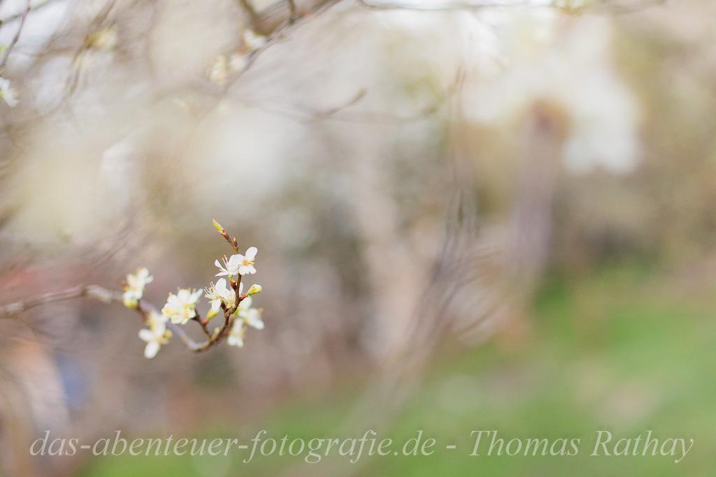 Obstbaumblüte im Barnim